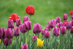 Tulip. Summer day in green Moscow park Russia Tulip fuchsia yellow green pink royalty free stock image