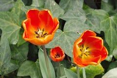 Tulip Sunburst Royaltyfria Bilder