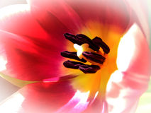 Tulip in sunlight Stock Photos