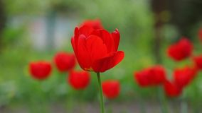 Tulip on a sunny day, background stock video footage