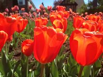 Tulip. On a sunny day at spring Royalty Free Stock Photography