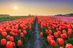 Tulip sunset. Beautiful colored tulip fields in the Netherlands in spring at sunset Royalty Free Stock Images
