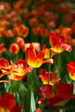 Tulip in sunshine Royalty Free Stock Images