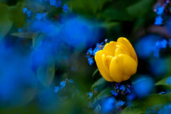 Tulip suronded of Forget-me-not Royalty Free Stock Image