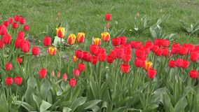 Tulip sways in the wind. Spring morning stock footage