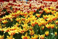 Tulip Synaeda King 1 Foto de archivo