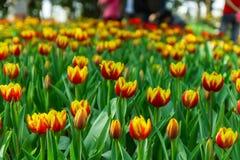 Tulip Tailândia Imagens de Stock Royalty Free
