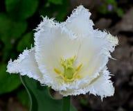Tulip Terry White på grön bakgrund Arkivfoto
