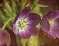 Tulip with texture Stock Photos
