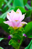 Tulip Thai Flower. Flowers gift with all season for some special Stock Image