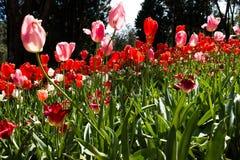 Tulip Time Royaltyfri Fotografi