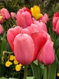 Tulip Time Lizenzfreies Stockfoto