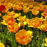 Tulip time in holland. Colorful tulips of Holland Michigan Stock Photo