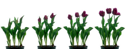 Tulip Time-lapse. Time lapse series of purple tulips blooming Royalty Free Stock Photo