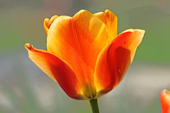 Tulip Time. Yellow and orange tulip blooming in spring Royalty Free Stock Photo