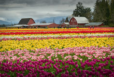 Tulip Town, Skagit Valley Royalty Free Stock Photo