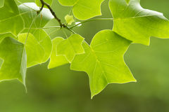 Tulip tree Stock Photos