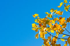 Tulip tree Stock Images