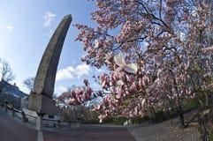 Tulip tree ar Cleopatra's needle Stock Photography