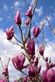 Tulip Tree atteignant pour le ciel photographie stock