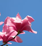 Tulip Tree Bloom. A blooming tulip tree backed up by the blue sky Stock Image