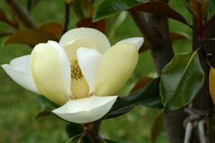 Tulip tree bloom Royalty Free Stock Images