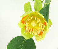 Free Tulip Tree Blossom Stock Images - 32014764