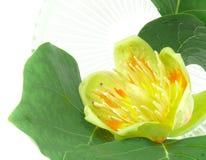 Tulip tree blossom Stock Photography
