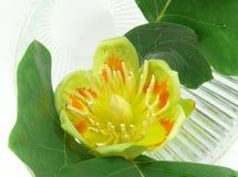 Tulip tree blossom Stock Photos