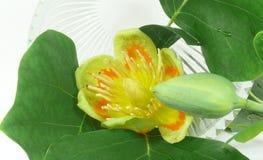 Tulip tree blossom Royalty Free Stock Photos