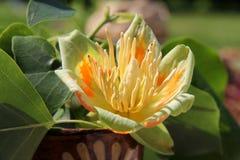 Tulip tree blossom Stock Photo