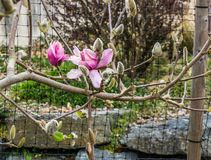 Tulip Tree  Blossoms Close-up 2 stock image