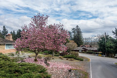 Tulip Tree In Burien, Washington. Pink blossoms cover this Tulip tree in Burien Washington in springtime royalty free stock photography