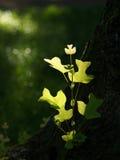 Tulip Tree en sol Fotos de archivo libres de regalías