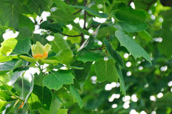 Tulip tree flower detail Stock Photography