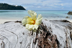 Tulip Tree flower on driftwood Stock Image
