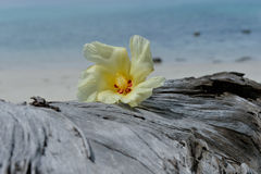 Tulip Tree flower on driftwood Stock Photo