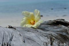 Tulip Tree flower on driftwood Stock Photo