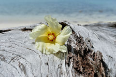 Tulip Tree flower on driftwood Royalty Free Stock Image