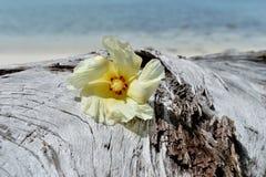 Tulip Tree flower on driftwood Royalty Free Stock Image