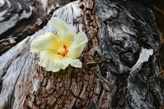 Tulip Tree flower on driftwood Royalty Free Stock Photo
