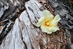 Tulip Tree flower on driftwood Stock Photography