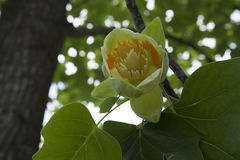 Tulip tree flower. Royalty Free Stock Images