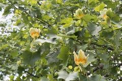 Tulip tree Royalty Free Stock Image