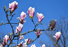 Tulip tree flowers Stock Photos