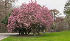Tulip Tree in full bloom. In the Edisto Gardens in South Carolina in February stock photo