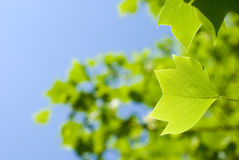 Tulip tree leaf Stock Photo