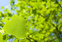 Tulip tree leaf Royalty Free Stock Images