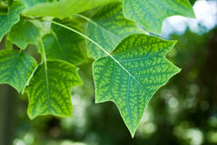 Tulip Tree Leaf. The leaves of the tulip tree (Liriodendron) are intricately designed and have a distinctive shape Stock Images