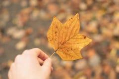 Tulip tree leaf Stock Image